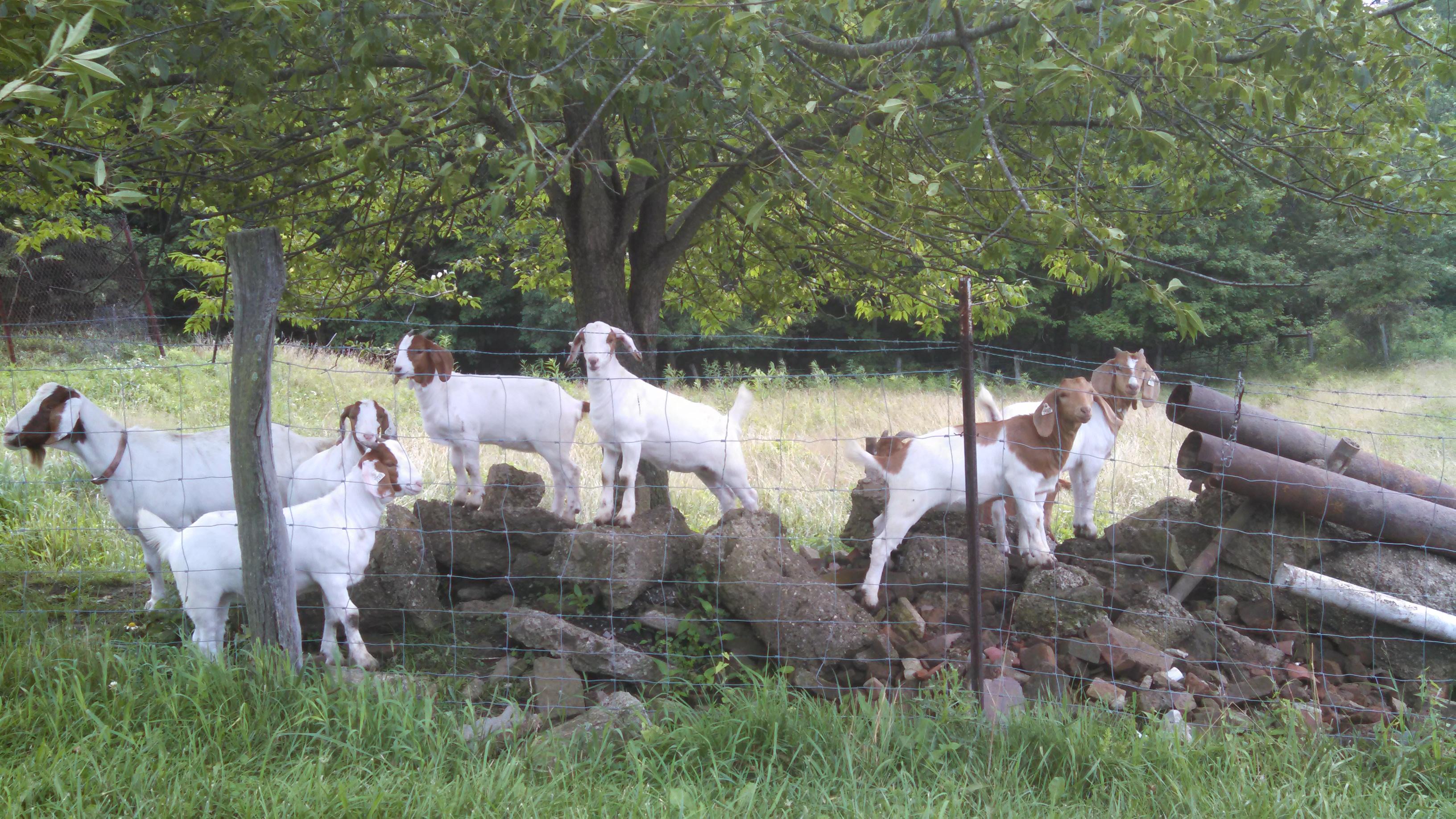 July 07th, Goats